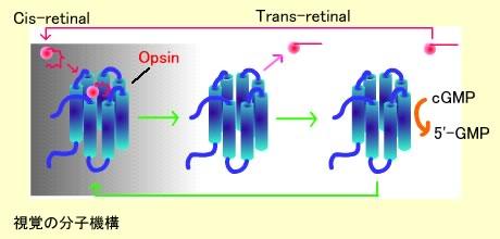 視覚の分子機構