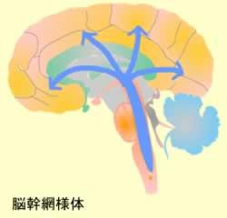 脳幹網様体